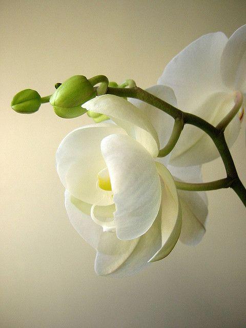 cuidar-de-orquideas-28