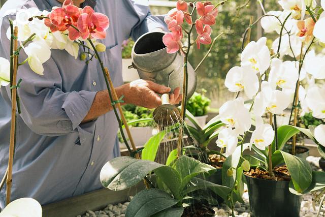 A forma correta de regar a sua orquídea