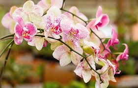 Adube a sua orquídea e fique atento às pragas