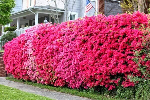 Jardim com Leucófilo: Planta, Em Vaso, Como Cuidar? 8