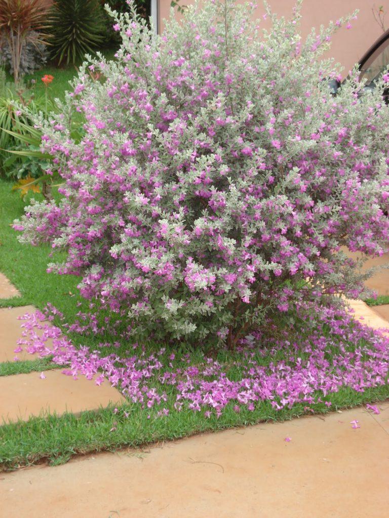 Jardim com Leucófilo: Planta, Em Vaso, Como Cuidar? 9