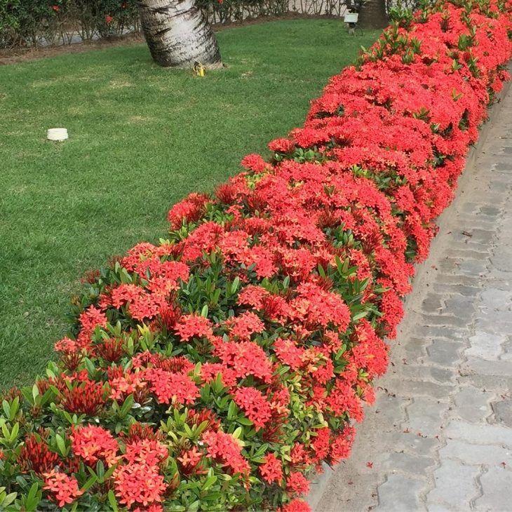 Jardim com Leucófilo: Planta, Em Vaso, Como Cuidar? 6