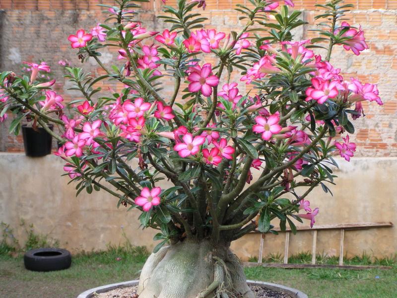 Jardim com Leucófilo: Planta, Em Vaso, Como Cuidar? 5