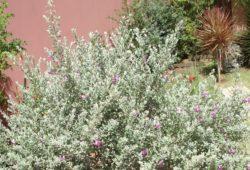 Jardim com Leucófilo: Planta, Em Vaso, Como Cuidar? 12