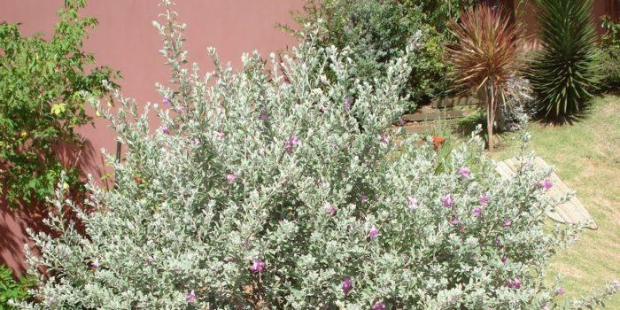 Jardim com Leucófilo: Planta, Em Vaso, Como Cuidar? 1