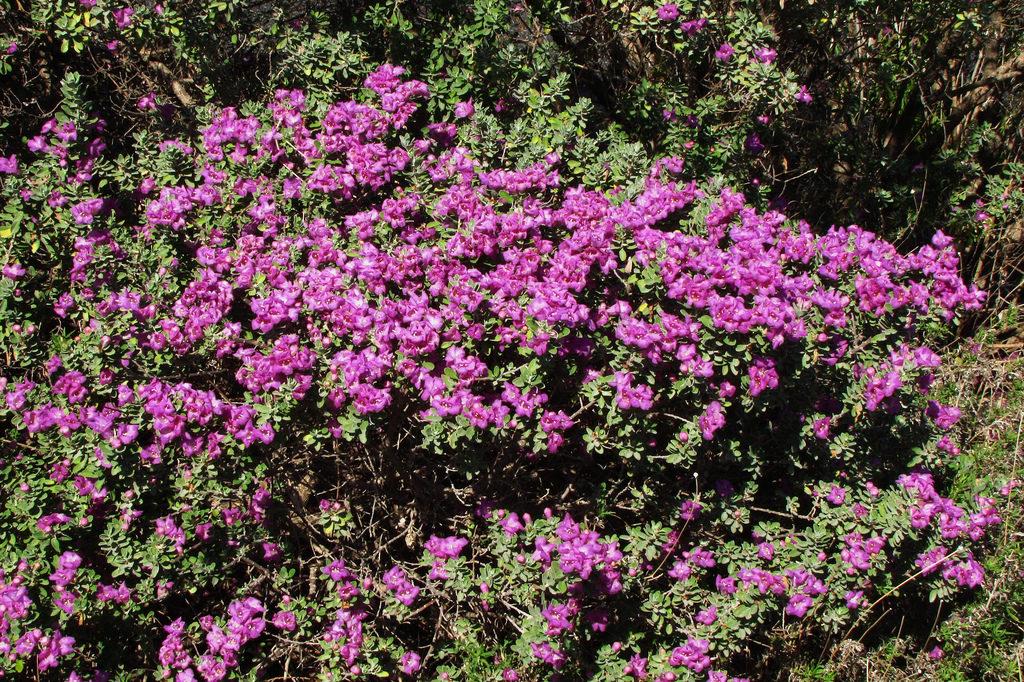 Jardim com Leucófilo: Planta, Em Vaso, Como Cuidar? 2