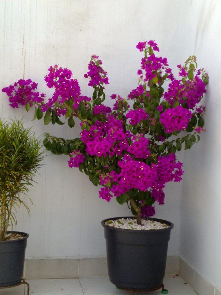 Jardim com Leucófilo: Planta, Em Vaso, Como Cuidar? 4