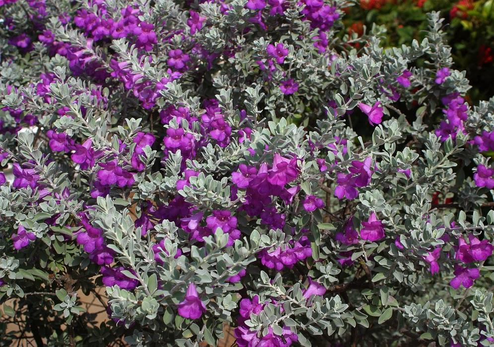 Jardim com Leucófilo: Planta, Em Vaso, Como Cuidar? 3