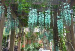 Sapatinho de Judia: Azul, no Pergolado, Como Cultivar? 6