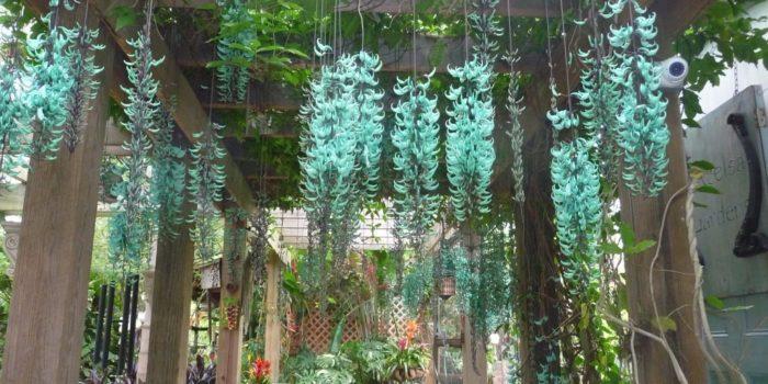 Sapatinho de Judia: Azul, no Pergolado, Como Cultivar? 1